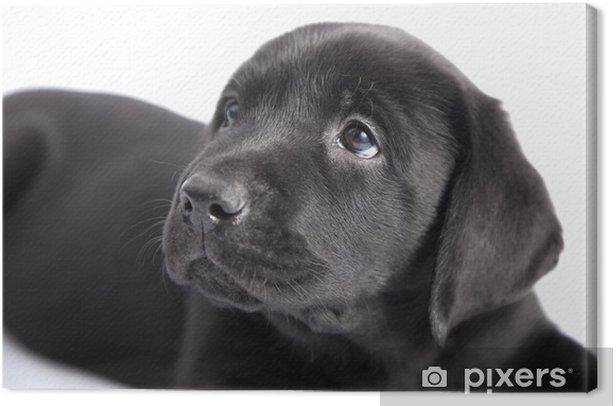 Puppy black dog labrador on white Canvas Print - Mammals