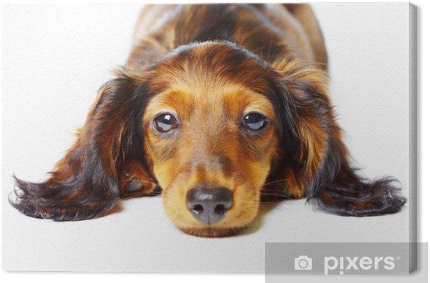puppy dachshund Canvas Print - Mammals