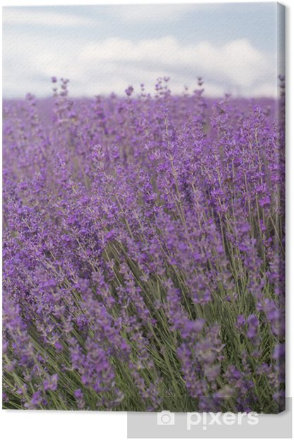 Purple field of lavender flowers Canvas Print - Themes