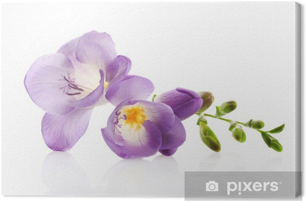 Purple Freesia Flower Isolated On White Canvas Print Pixers We