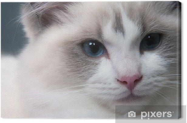 Ragdoll cat face Canvas Print - Mammals