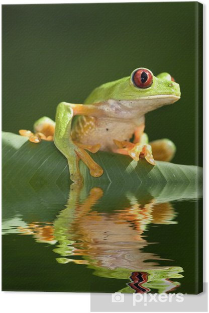 Red eye tree frog Agalycnis callidryas from Costa Rica Canvas Print - Other Other