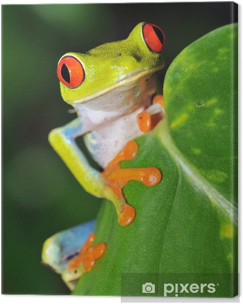 red eyed green tree frog looking, costa rica Canvas Print - Frogs