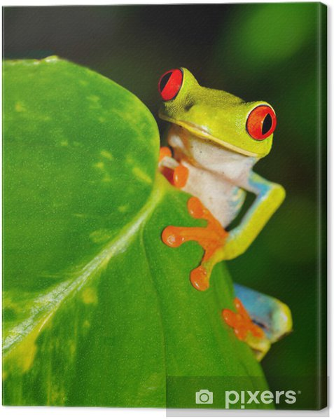 red eyed green tree or gaudy leaf frog , costa rica Canvas Print - America