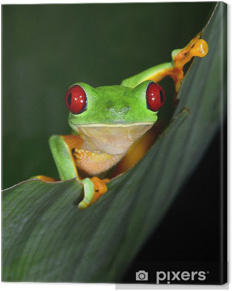 red eyed tree frog curious vibrant on green leaf, costa rica, ce Canvas Print - Other Other