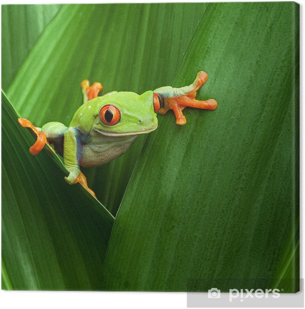 red eyed tree frog Canvas Print - Frogs