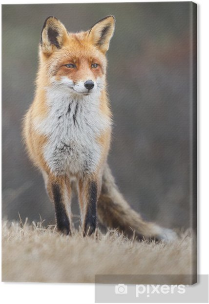 Red Fox Canvas Print Pixers 174 We Live To Change
