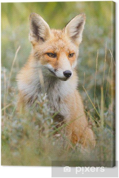 red fox Canvas Print - Themes