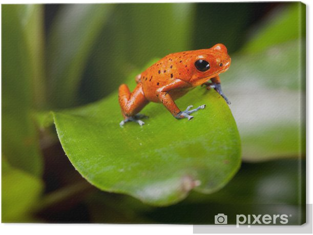 red poison dart frog Canvas Print - Other Other