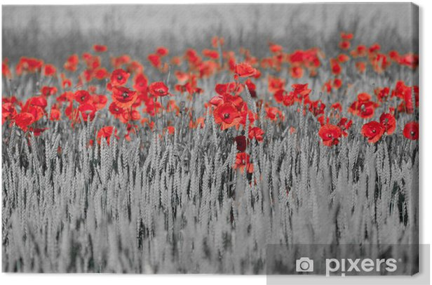 red poppies black white Canvas Print - Themes
