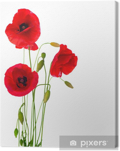 Red Poppy Flower Isolated on a White Background Canvas Print - Destinations
