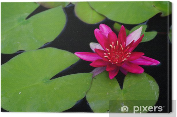 red water lilly Canvas Print - American Cities