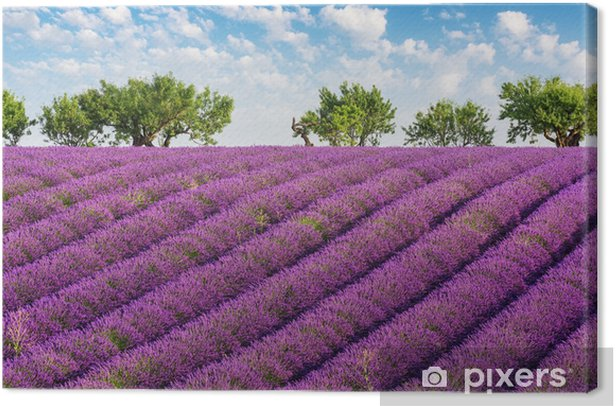 Rows Of Lavender Green Trees And Blue Sky With Clouds In The Lavender Fields Of The French Provence Near Valensole Canvas Print Pixers We Live To Change