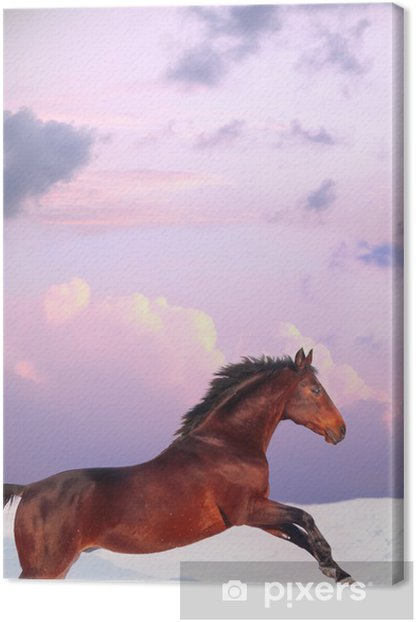 running bay horse in sunset at winter Canvas Print - Mammals