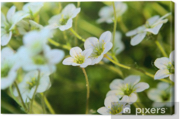 Saxifrage flowers Canvas Print - Flowers