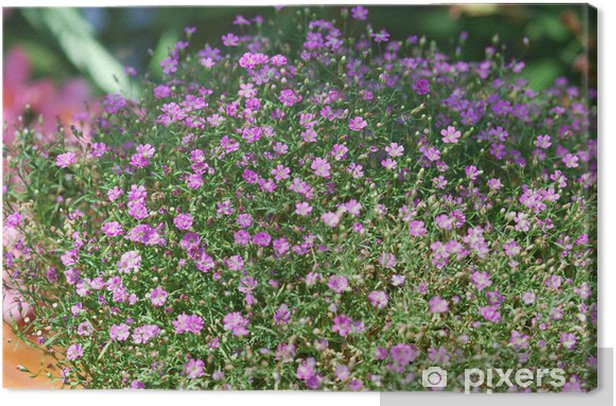 Schleierkraut rosa (Gypsophila muralis) Canvas Print - Home and Garden