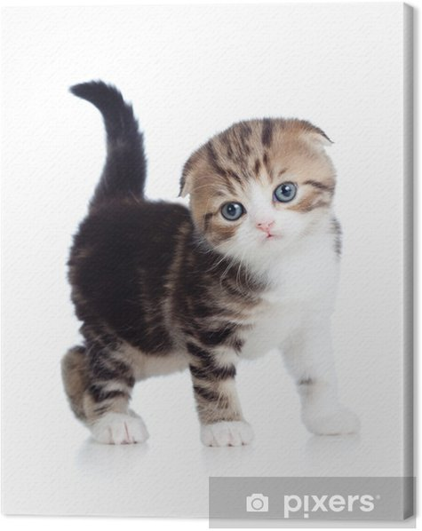 Scottish fold baby cat Canvas Print - Mammals