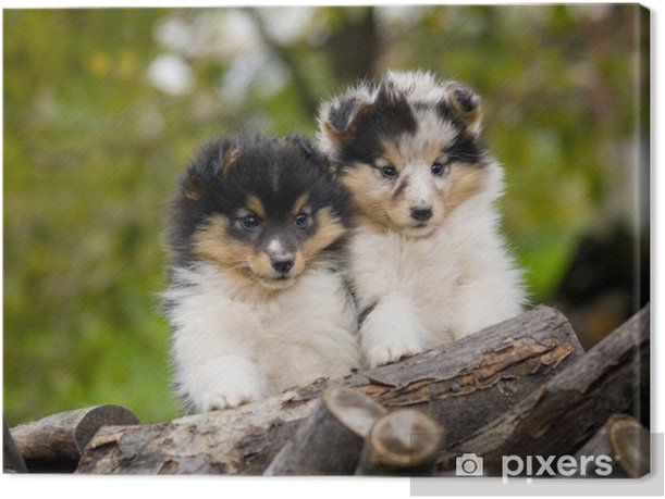 Sheltie Puppies Canvas Print Pixers We Live To Change