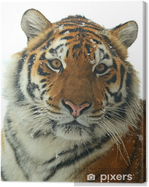 Siberian tiger Canvas Print - Mammals