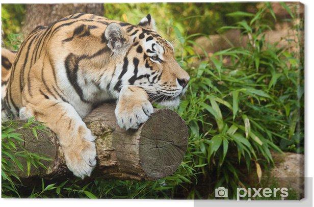 Sibirischer Tiger (Panthera tigris altaica) Canvas Print - Themes