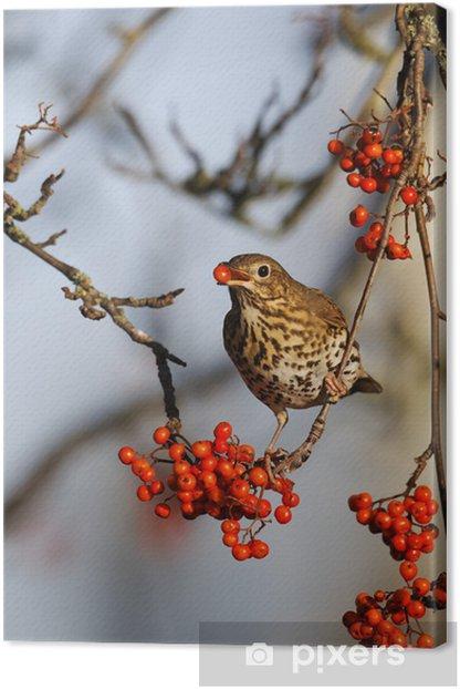 Song thrush, Turdus philomelos Canvas Print - Birds