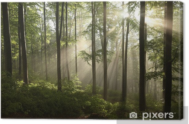 Spring beech forest after a few days of rain in a foggy morning Canvas Print - Themes