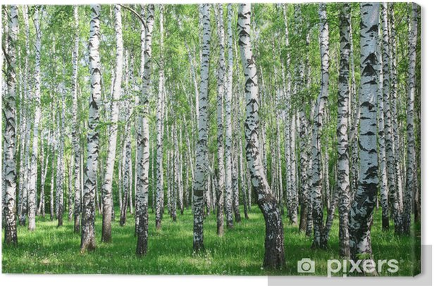 Spring birch forest with fresh greens Canvas Print - Styles