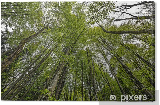 spring forest Canvas Print - Trees