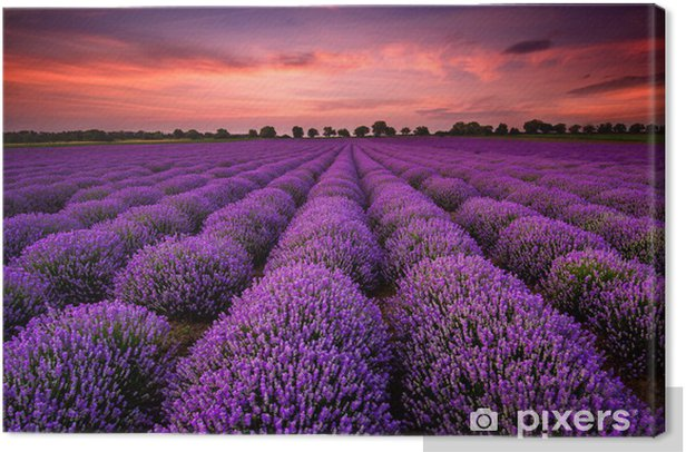 Stunning landscape with a lavender field at sunset Canvas Print -