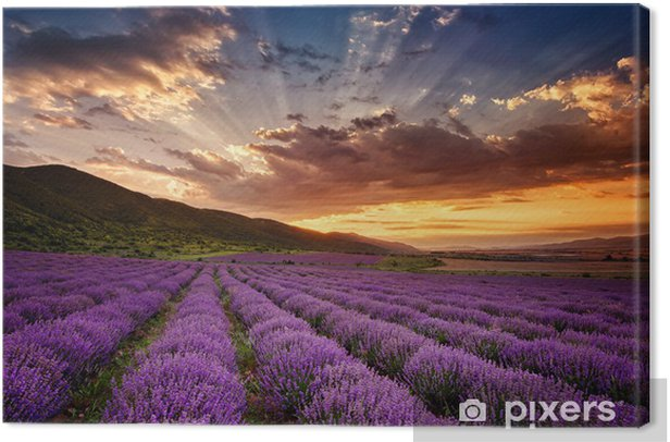 Stunning landscape with lavender field at sunrise Canvas Print - Themes