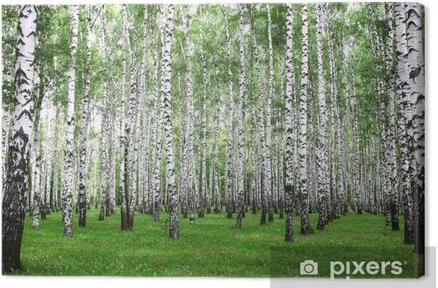 Summer birch forest in the morning Canvas Print - Themes