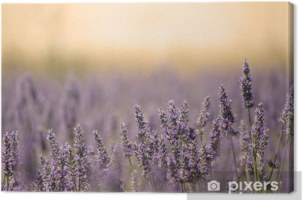 Summer Meadow with Flower. Lavender. Canvas Print - Herbs