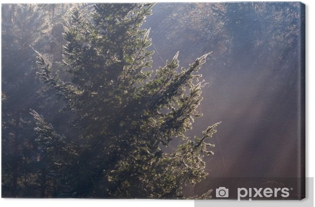 sunbeams in coniferous foggy forest Canvas Print - Landscapes