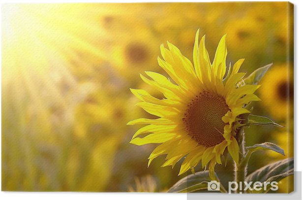 Sunflower on a meadow in the light of the setting sun Canvas Print - Themes