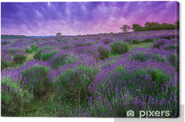 Sunset over a summer lavender field in Tihany, Hungary Canvas Print - Themes