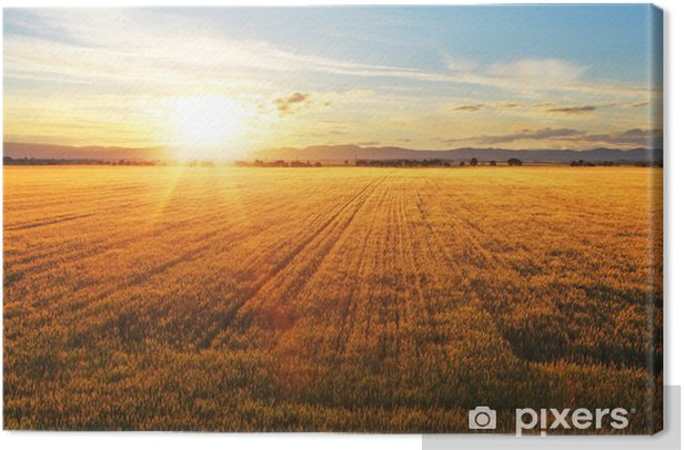 Sunset over wheat field. Canvas Print - Themes