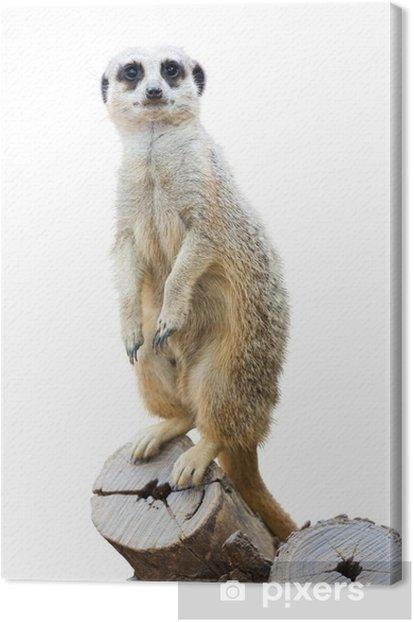 Suricata Canvas Print - Mammals