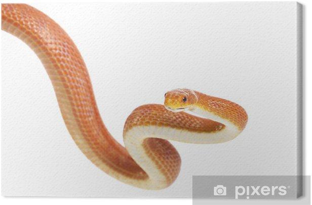 Texas rat snake (Elaphe obsoleta lindheimeri) Canvas Print - Other Other