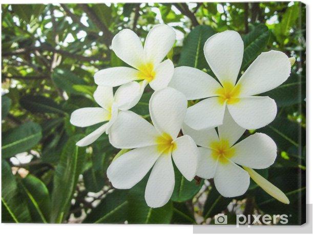 the group plumeria Frangipani flower closeup on green leaf Canvas Print - Flowers