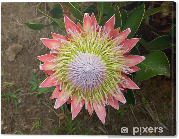 The King Or Giant Protea South Africa S National Flower Canvas