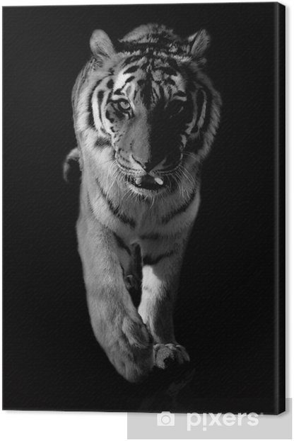 tiger black and white Canvas Print - Themes