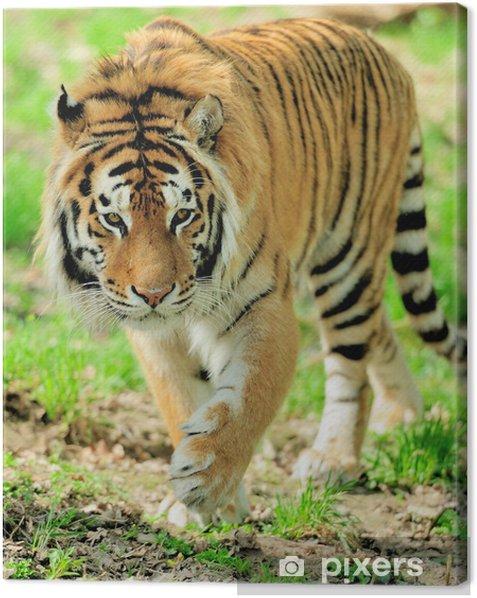 Tiger Canvas Print - Mammals