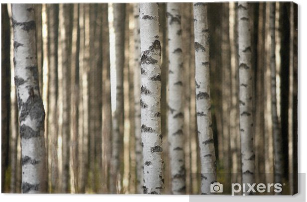 trunks of birch trees Canvas Print - Styles