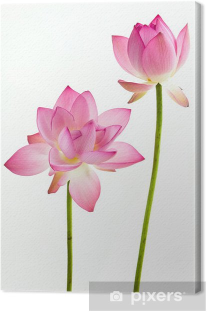 Twain Pink Water Lily Flower Lotus And White Background Canvas Print