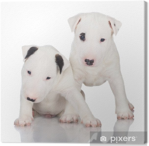two white english bull terrier puppies Canvas Print