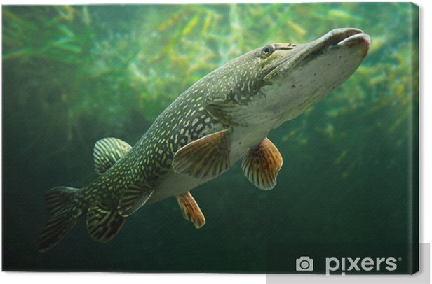 Underwater photo of a big Pike (Esox Lucius). Canvas Print - Themes