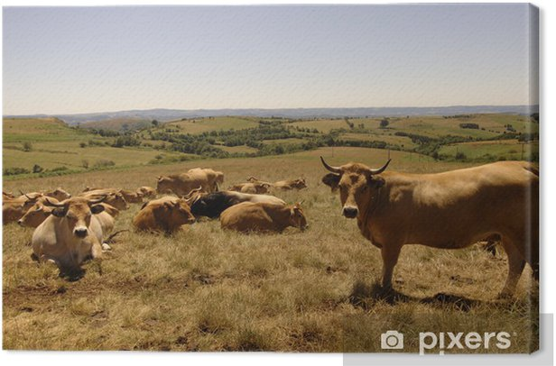 vache aubrac Canvas Print - Mammals