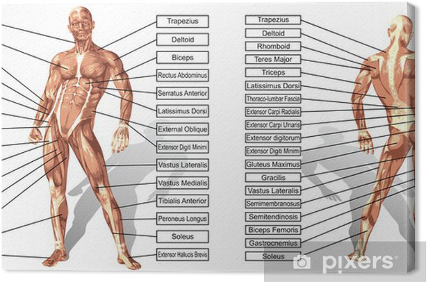 Vector 3D man muscle anatomy with text isolated Canvas Print - Health and Medicine