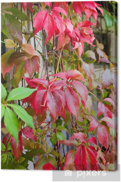 Vibrant Autumn Colours Virginia Creeper Climbing Plant with Wind Canvas Print - Plants