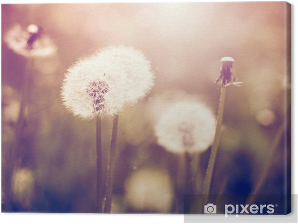 Vintage dandelions on a meadow Canvas Print - Plants and Flowers
